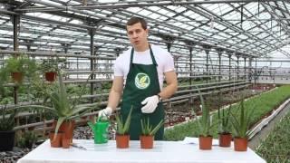 видео алоэ вера: выращивание, уход и размножение в домашних условиях + фото