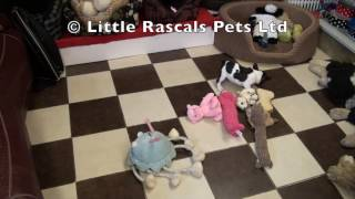 Little Rascals Uk Breeders New Litter Of French Bulldog's