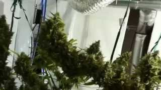 Worlds largest indoor marijuana plant (Super Lemon Haze)