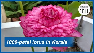 When a 1,000-petalled lotus bloomed for the first time in Kerala