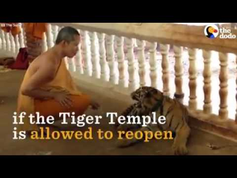 Tigers at this temple were drugged and beaten — and now it's about to happen again.