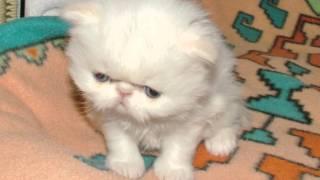 Ziakatz Bumbles 3 Kittens are 4 wks old