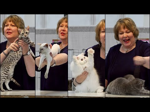 CFA International 2016 - Kathy Black allbreed kitten final