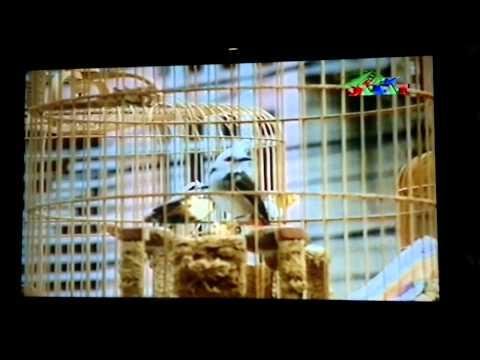HỘI THI CHIM CHÀO MÀO MỞ RỘNG TẤN DŨNG 18/2/2012