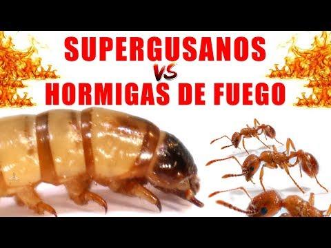 SUPERGUSANOS VS HORMIGAS DE FUEGO | Experimentos con Mike