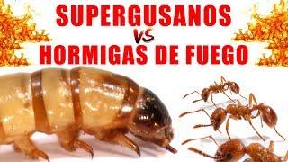 SUPERGUSANOS VS HORMIGAS DE FUEGO   Experimentos con Mike