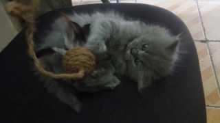 Blue Point Persian kitten - Endo @ 2 months