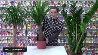 ЮККА МАЙЯ уход в домашних условиях / Юкка слоновая(Юкка (лат. Yucca) — род древовидных вечнозелёных растений семейства Агавовые (Agavaceae). Ранее этот род включали..., 2015-02-15T06:10:42.000Z)