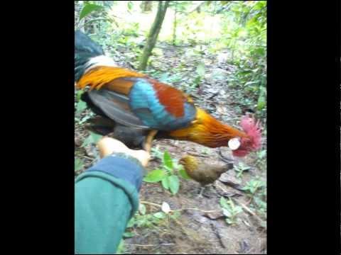 Ayam Hutan Pikat Betina 47