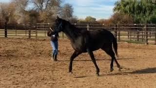 Brn 4-6 yr old, TB mare lunging