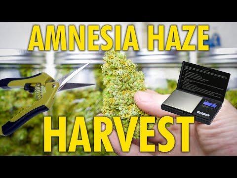 Amnesia Haze Autoflower Harvest and Dry Weight