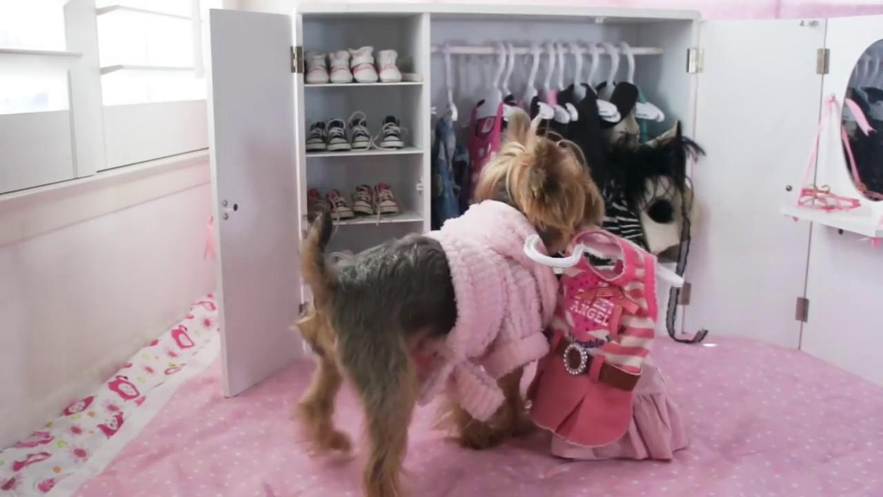 Superbe Doggie Closet Funny Video Of Dog, Chloe Polka Dot Yorkie
