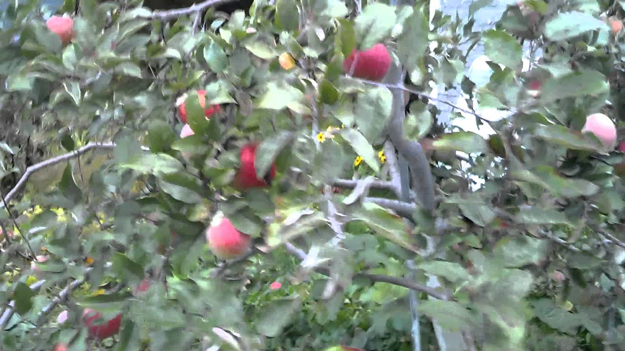 backyard apple orchard in wisconsin youtube