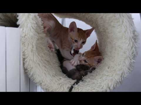 Kittens Cornish Rex 2016 von Diana! Miss you!