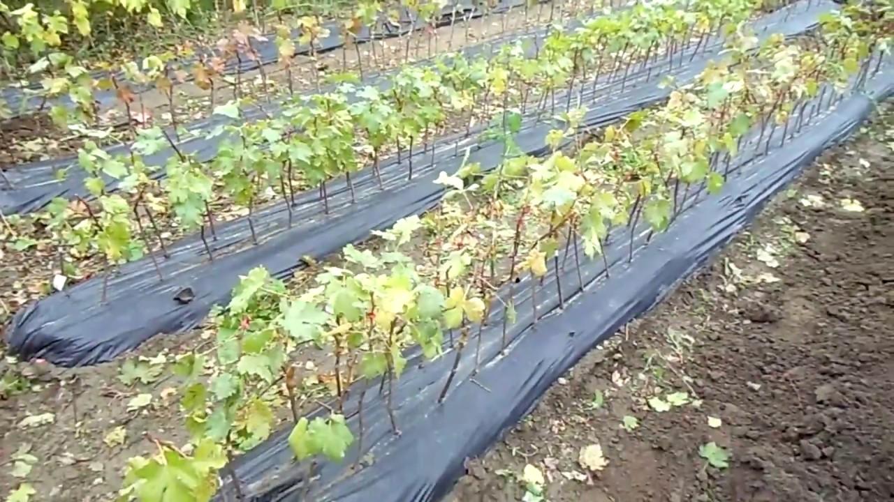 Виноград незаменимое украшение дворика загородного дома, или частной усадьбы. Виноград, нашел широкое применение различных сферах, его употребляют как свежим, так же из него готовят вино, изюм и используют в выпечке и прочих кондитерских изделиях. Иметь у себя свой собственный.