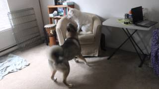 TK, an adult male Shikoku Ken plays with Fionna/Kaneko, a young fem...