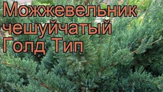 Можжевельник чешуйчатый Голд Тип (gold-tip)