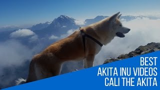This video is from the most intense hike Cali, our Akita Inu dog (J...