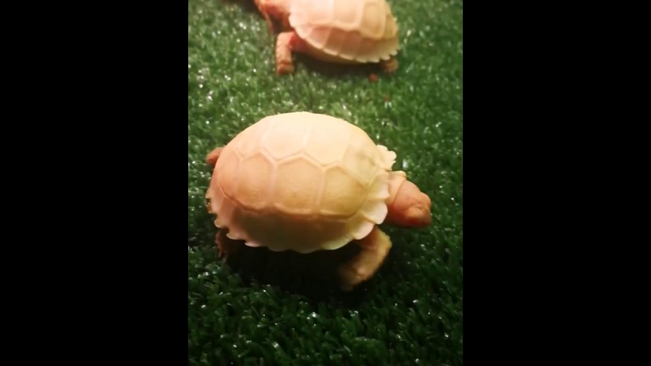 BUY ALBINO SULCATA TORTOISE – Buy Albino Sulcata Tortoise Online