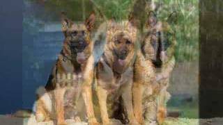 The German Shepherd - 7,121 Waiting For Adoption In The Us.  Www.petfinder.com
