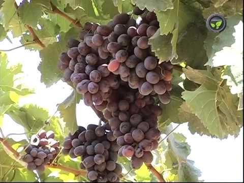 Coloured seedless grape varieties sharad seedless and krishna sharad youtube - Seedless grape cultivars ...