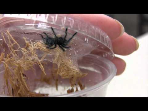 Antilles Pink Toe Spiderlings