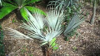 Brahea armata Mexican Blue Palm