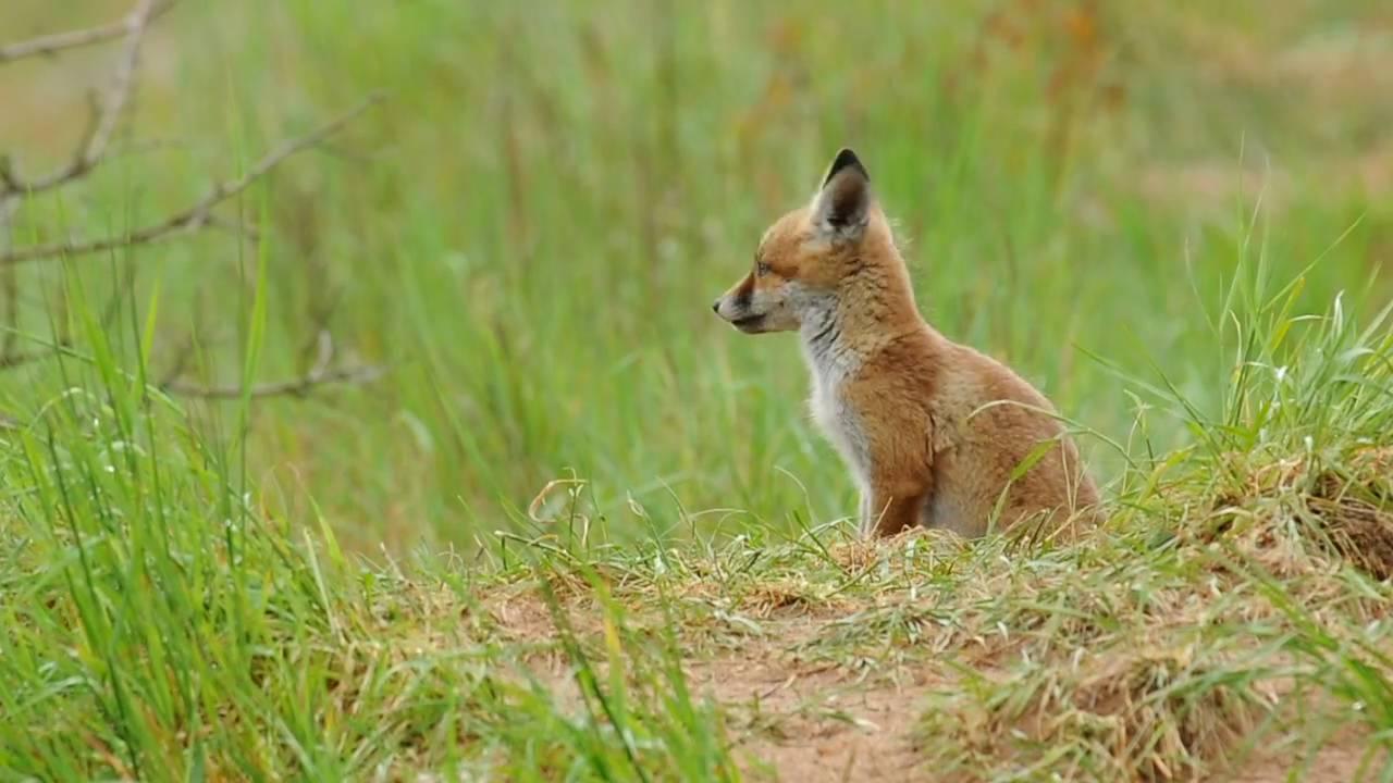 Renardeau attentif puis joueur youtube - Dessin le renard et la cigogne ...