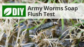 Soap Flush Test for Armyworms