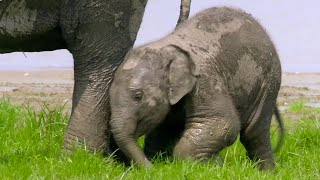 Baby Elephant Finds Her Feet - Lands Of The Monsoon - BBC