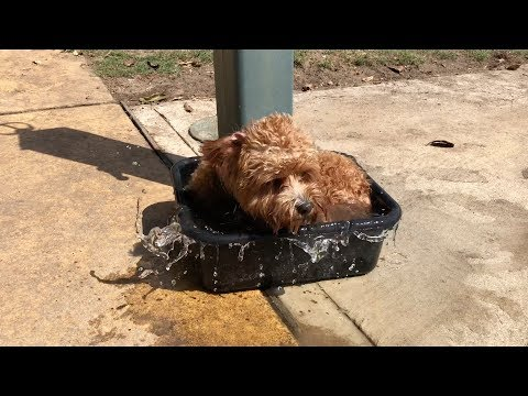 Fraser the cavoodle /cavapoo and shared water bowls