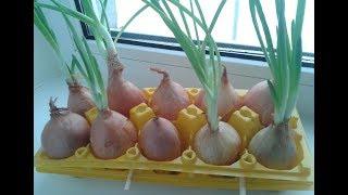 Зеленый ЛУК на подоконнике без земли КРУГЛЫЙ ГОД/Как вырастить лук на перо дома/Выращивание лука