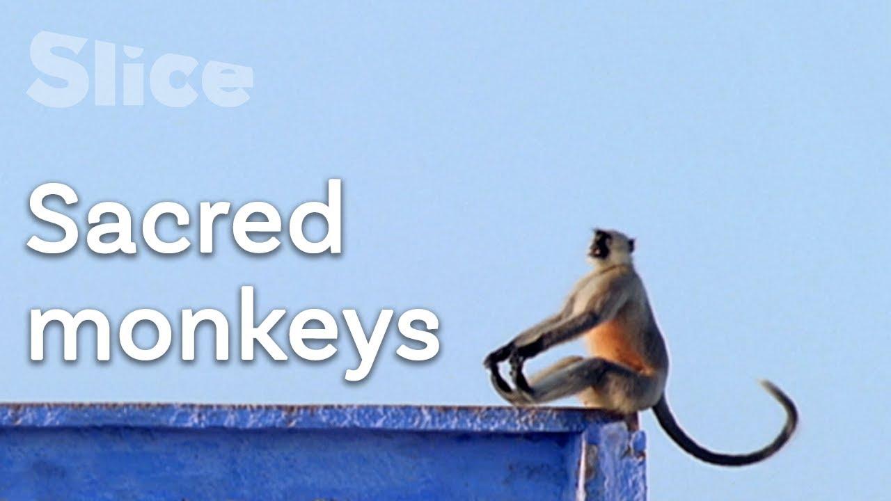 Download Apes: Gods of Asia   SLICE