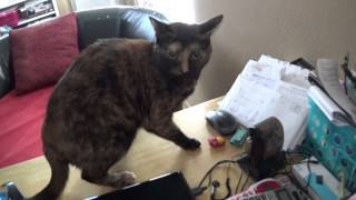 Miniature Schnauzer Puppy Tormenting & Chasing The Cat