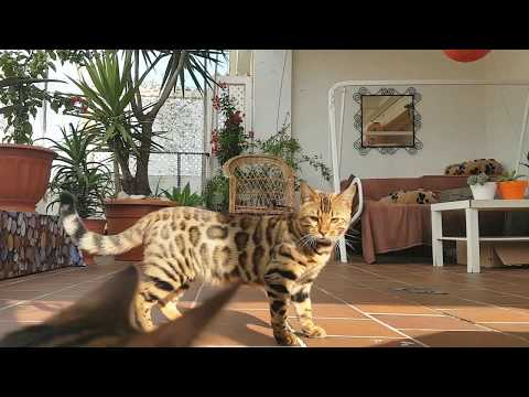 My bengal cats Kenzo & India playing and jumping on the terrace