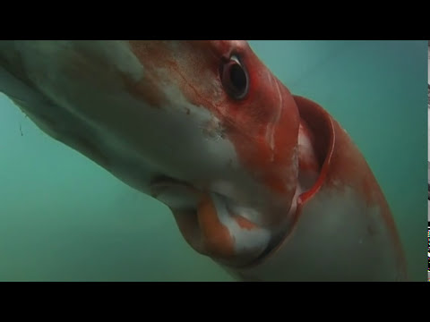 raw: giant squid makes rare appearance in bay - youtube