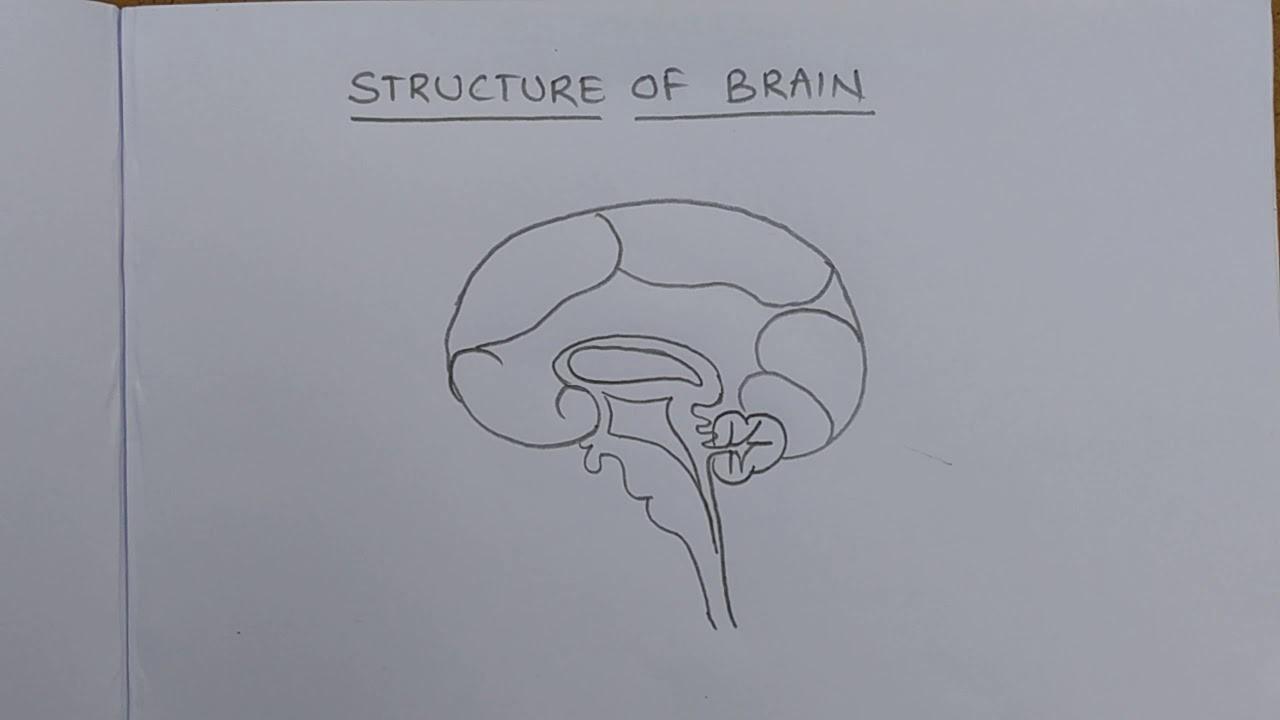 Brain - diagram - YouTube