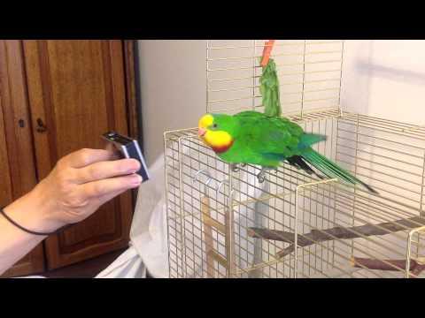 baraband parrot