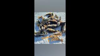 Зимняя рыбалка на окуня 2020 Ловим окуня на блесну