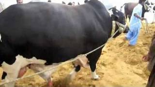 Shah Cattle Farm 2011