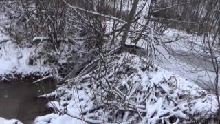 Охота на бобра и ондатру капканами