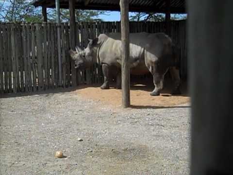 Northern white rhinos in Africa again