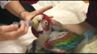 Magical Baby Greenwing Macaws in Branson, Missouri