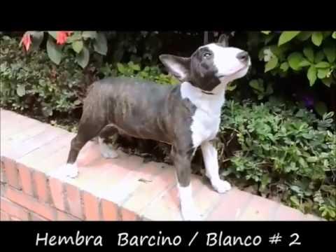 MBT Pygmies - Miniature Bull Terrier & Bernese Mountain Dog
