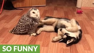 Husky and owl chill out together