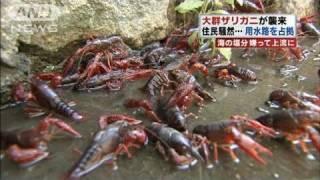 大群ザリガニ襲来で住民騒然 岡山市で異常発生(10/10/11) thumbnail