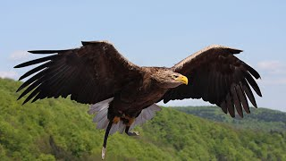 Орлан-долгохвост впервые прилетел на бабье лето в Беларусь