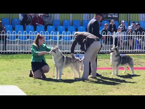 Royal Melbourne Show - Siberian Husky OPEN DOG CLASS