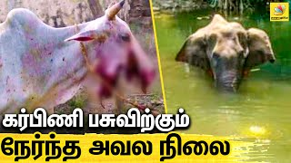 Cow fed with Explosives | Himachal Pradesh