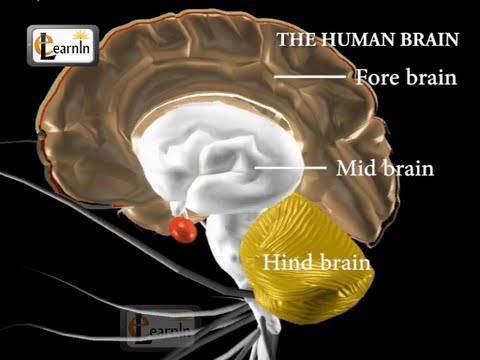 Human brain and its parts - Biology